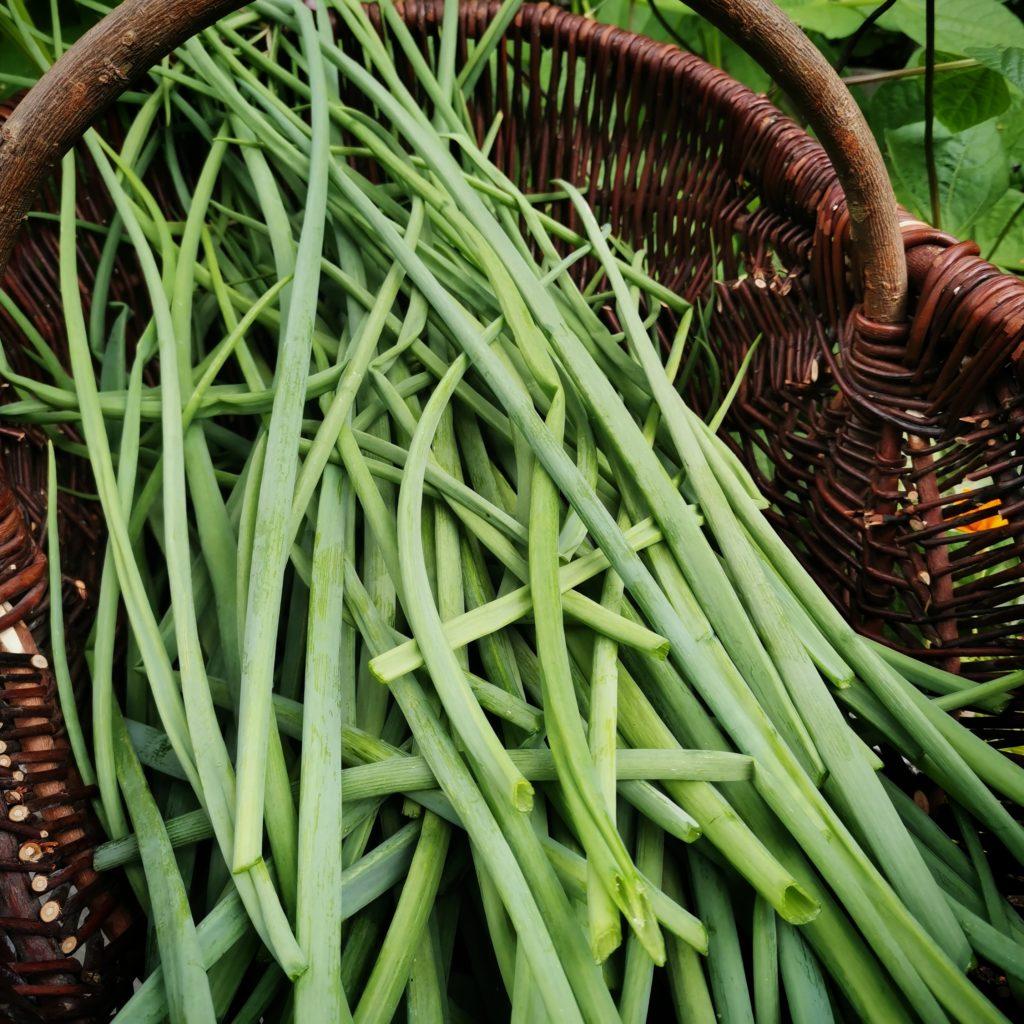 Sipulinvarsien ja ruohosipulien helppo ja nopea säilöntä pakastamalla